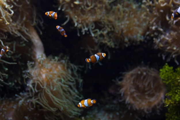 Ocellaris anemonenfisch
