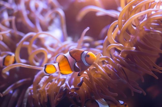 Ocellaris-clownfisch, clown-anemonenfisch, clownfisch, falscher percula-clownfisch