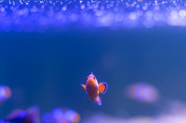 Ocellaris-clownfisch