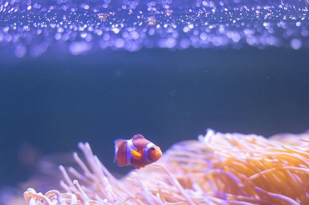 Ocellaris clownfish, clown anemonefish, clownfish, falscher percula clownfish