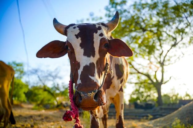 Ochse im landwirtschaftsbereich, indisches landleben