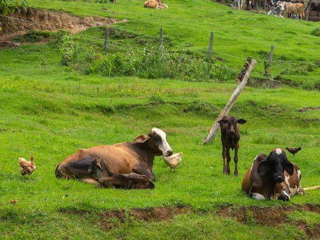 Ochsen, die frei im vieh leben