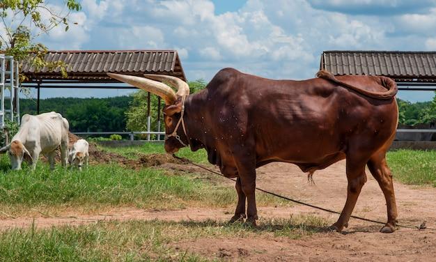 Ochsen mit dem großen horn, das nahe junger weißer kuh im bauernhofnaturhintergrund steht.