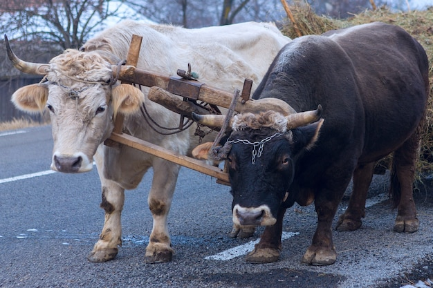 Ochsen ziehen einen mit heu beladenen wagen entlang einer rumänischen straße. robuste fleißige tiere.