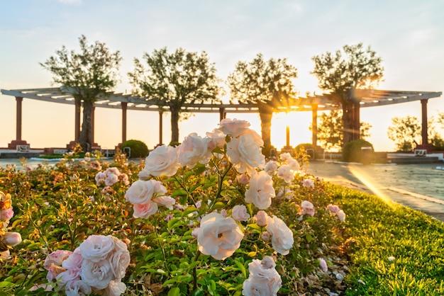 Öffentlicher garten gehweg bei sonnenaufgang in santander, spanien mit weißen rosen im vordergrund.