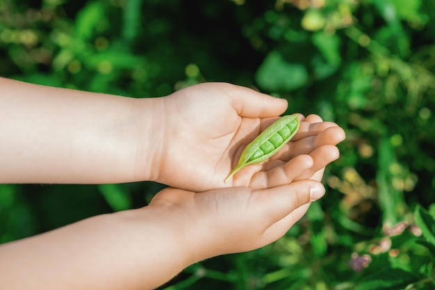 Öffnen sie im sommer die erbsenschote in den händen eines kindes im garten.