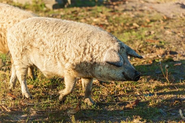 Öko-bauernhof mit lockigen schweinen, schweinerasse duroc. großer produzent von haarschweinen. konzept für den anbau von bio-lebensmitteln