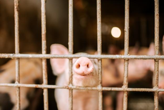 Ökofarm. nahaufnahme von schweineschnauzen durch einen zaun.