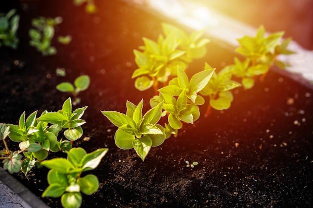 Ökologiekonzept. sämlinge wachsen aus dem reichen boden. junge pflanzen in der kindergartenplastikschale auf gemüsefarm.