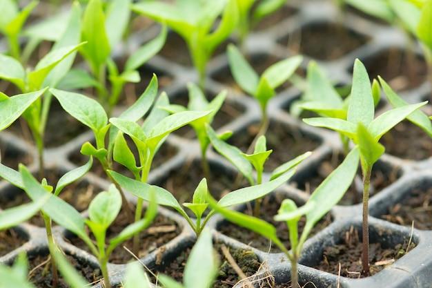 Ökologischer landbau, sämlinge, die im gewächshaus wachsen.