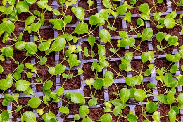Ökologischer landbau, sämlinge wachsen im gewächshaus. viele kohlsämlinge in schwarzen plastikkassetten im gewächshaus.