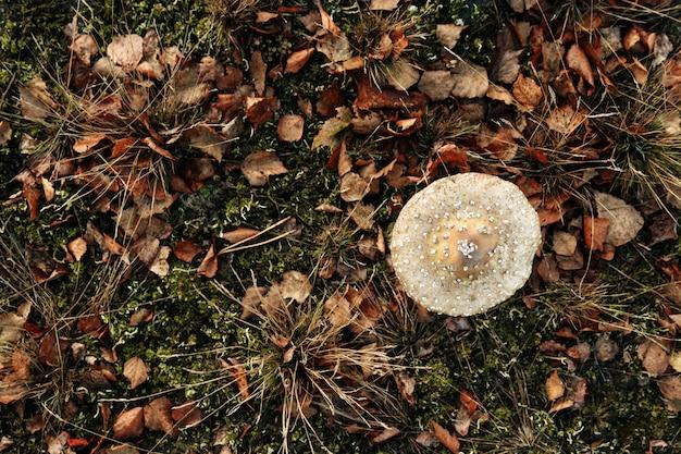 Ölige nahaufnahme der essbaren pilze im wald auf bläulichem moos.