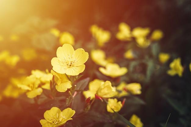 Oenothera biennis oder esel oder nachtkerze gelber blumenbusch in voller blüte auf einem hintergrund von grünen blättern und gras im blumengarten an einem sommertag. aufflackern