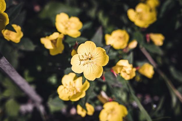 Oenothera biennis oder esel oder nachtkerzengelber blütenbusch in voller blüte auf einem hintergrund von grünen blättern und gras im blumengarten an einem sommertag
