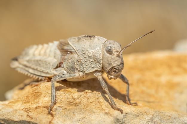 Östliche steinheuschrecke (prionotropis hystrix) sitzt auf einem felsen
