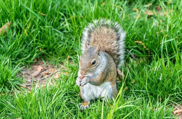 Östliches graues eichhörnchen, das eine erdnuss im batteriepark isst