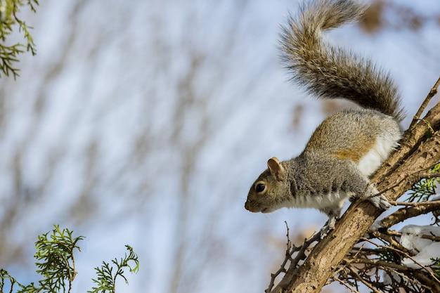 Östliches graues eichhörnchen im winter der natürlichen umgebung in einem waldpark