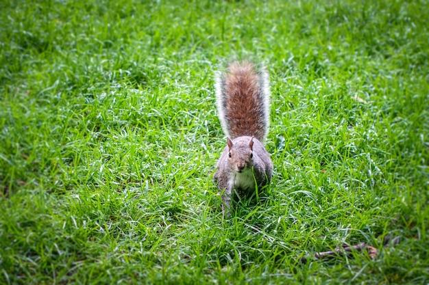 Östliches graues eichhörnchen in einem grünen park
