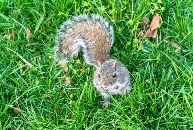 Östliches grauhörnchen im batteriepark