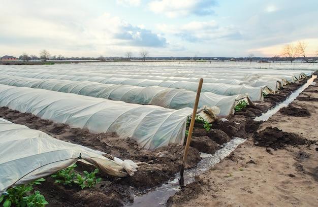 Offene tunnelreihen der kartoffelsträucher-plantage und ein mit wasser gefüllter bewässerungskanal