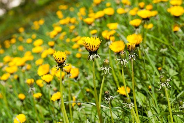 Offene und geschlossene gelbe löwenzahnblüten auf einer frühlingswiese
