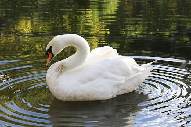 Offener flügel des weißen schwans