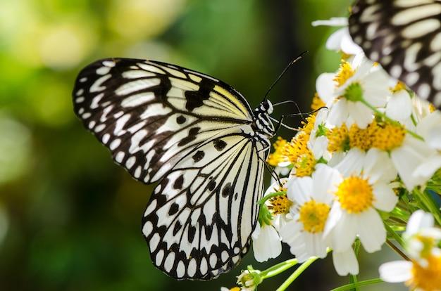 Ohgomadara schmetterling großer schwarzer und weißer schmetterling, der auf blumen ruht