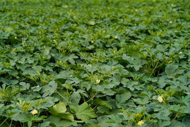 Okra- oder ladyfinger-pflanze auf dem landwirtschaftsfeld.