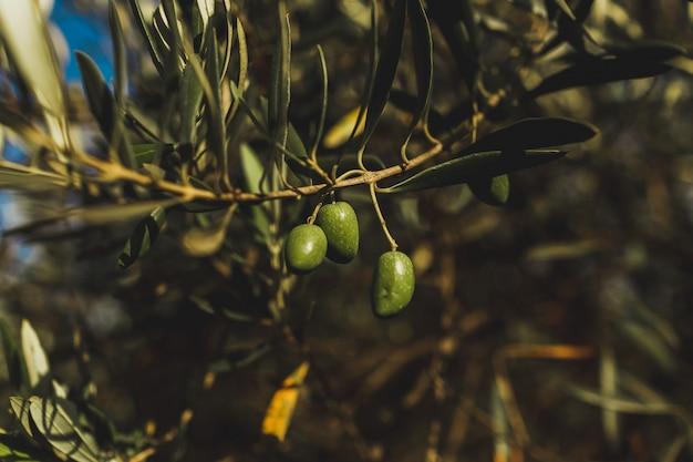 Olive, die im baum hängt