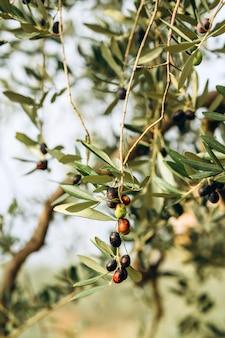 Oliven auf zweig. olivenbaumgarten, mediterranes olivenfeld. oliven in verschiedenen reifungsstadien. weichzeichnerhintergrund.