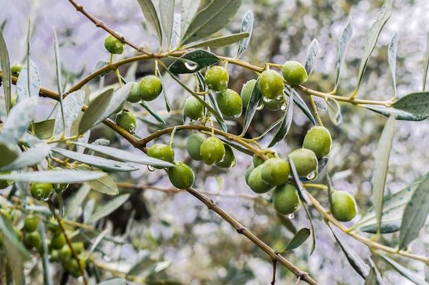 Oliven obst hängen mit regentropfen