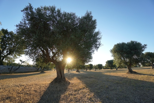 Olivenbäume in der selva di fasano