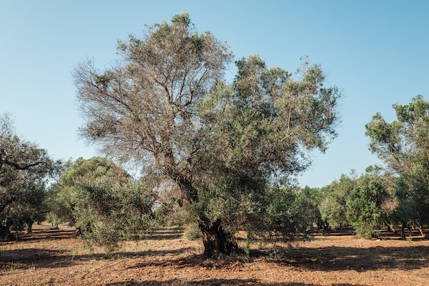 Olivenbäume krank von xylella in salento, süd-apulien, italien