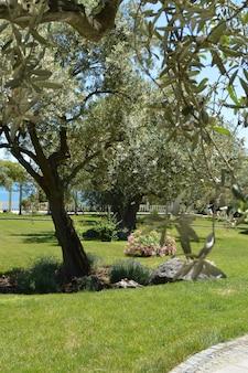 Olivenbäume mit blühendem park der niederlassungen im frühjahr