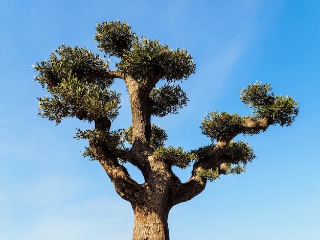 Olivenbaum auf dem hintergrund des blauen himmels.