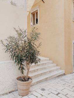 Olivenbaum im weinlese-terrakottatopf gegen schönes altes gebäude mit treppen