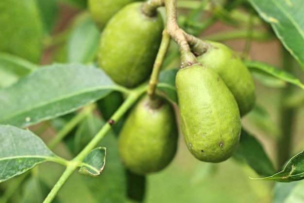 Olivenbaum in tropischem