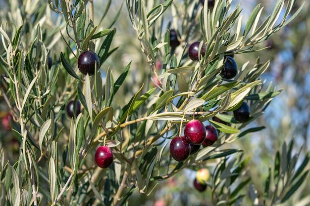 Olivenbaum mit früchten, ernte für öl