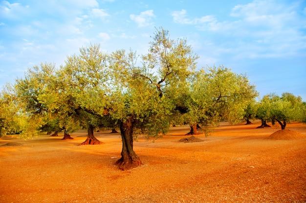 Olivenbaumfelder in roten böden in spanien