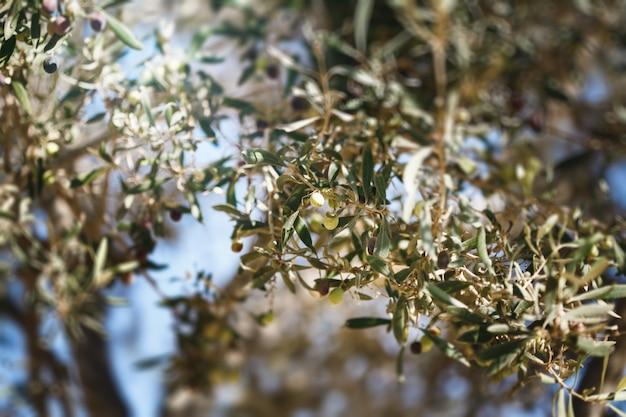 Olivenbaumzweig mit früchten