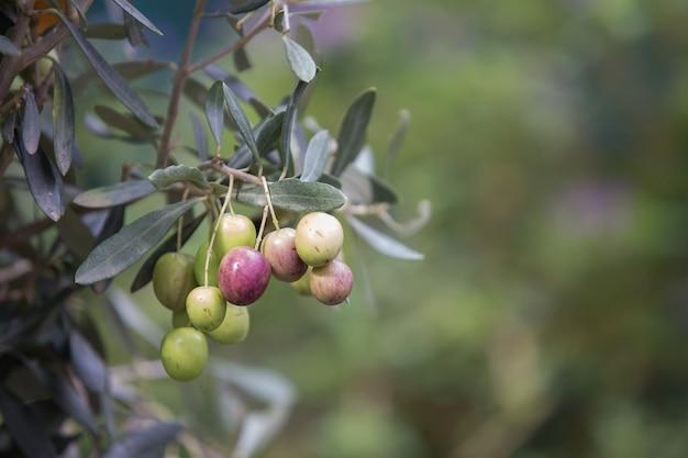 Olivenbaumzweig.