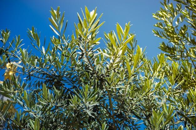 Olivenbaumzweige im sommer als natürliche oberfläche