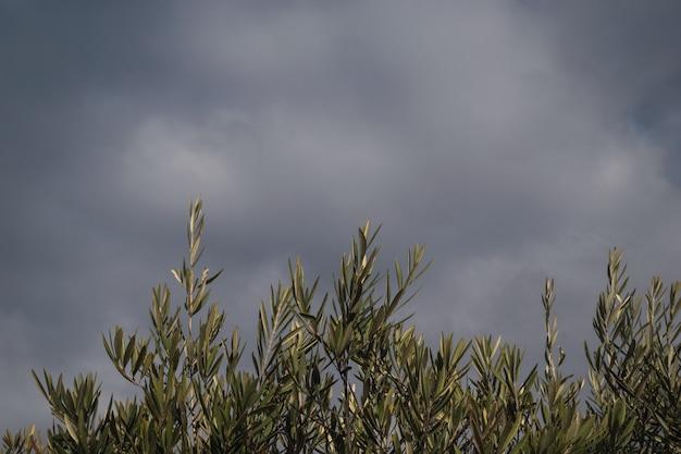 Olivenblätter und -niederlassungen an einem bewölkten stürmischen tag. natürlicher hintergrund.