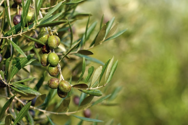 Olivenfrüchte auf einem astbaum