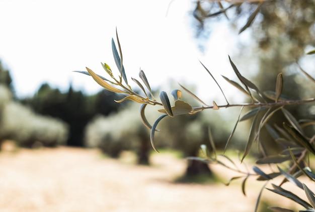 Olivenzweig auf dem feld