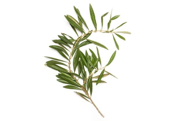 Olivenzweig mit blättern auf weißem hintergrund