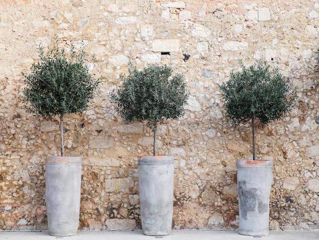 Olivgrüne dekorative bäume in den tongefäßen. rethymno, kreta.