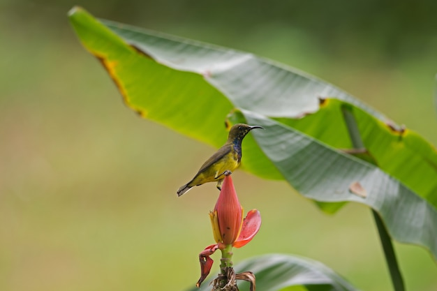 Olivgrüner unterstützter sunbird, gelb aufgeblähter sunbird
