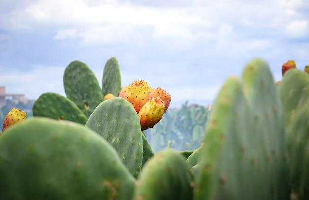 Opuntia ficus oder feigenkaktus mit früchten