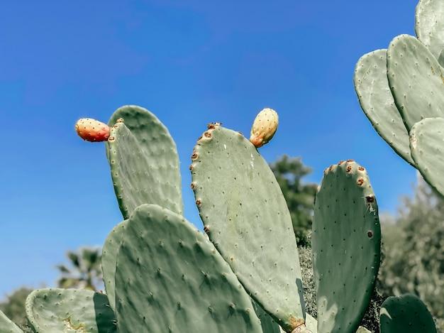 Opuntia-kaktus im herzen der kurstadt. tourismus- und reisekonzept. sommer hintergrund.